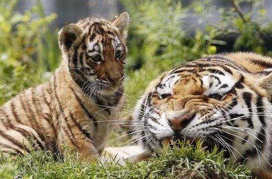 harimau sumatra