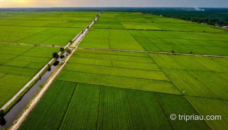 Landscape Sawah Bunga Raya Lokasi : Kec. Bungaraya, Kabupaten Siak, Riau